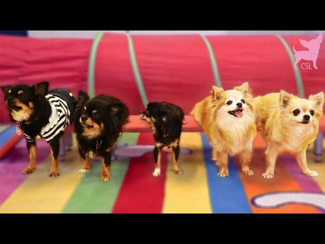 Smart Chihuahua Dogs Show Cute Tricks