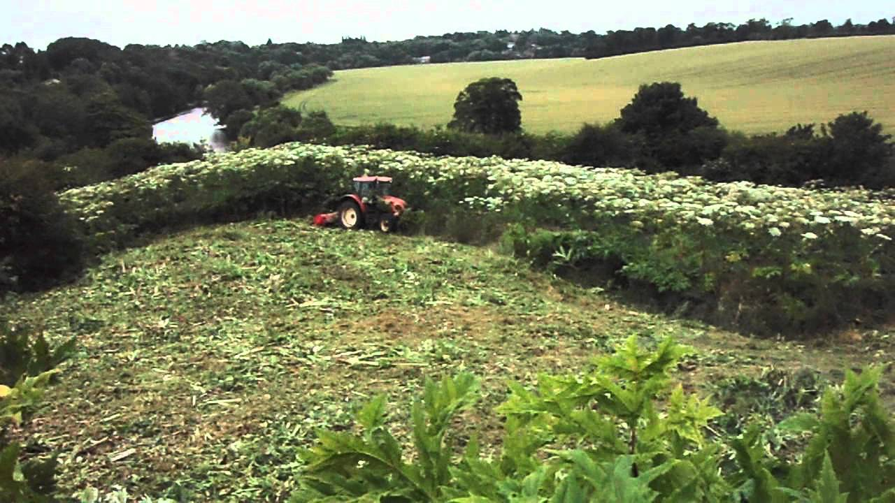 Giant Hogweed Removal Youtube