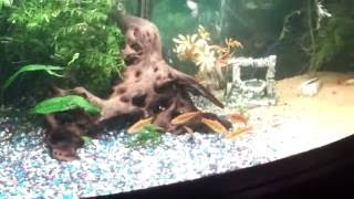two large tropical fish tanks aquarium set ups