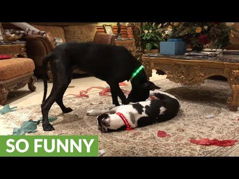 Great Danes play with light-up Christmas collars