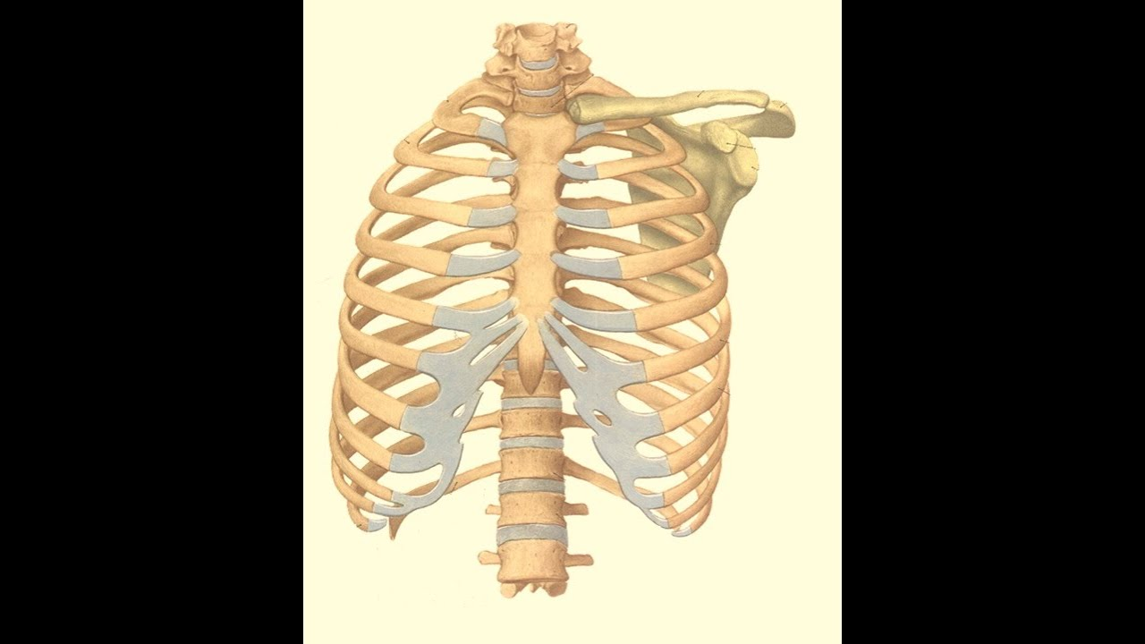 Magdy Said anatomy series,Thorax 1- thoracic cage, v 1 - YouTube
