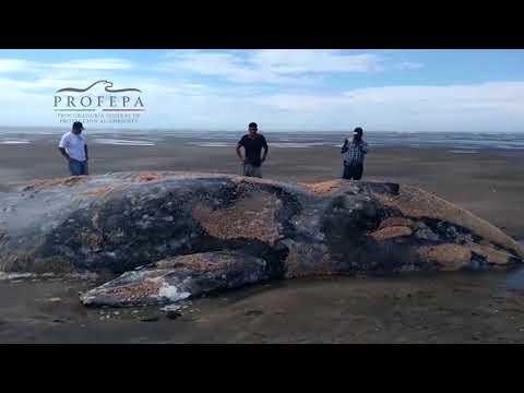 Rescata PROFEPA Ballena Gris Varada En Aguas Del Puerto Adolfo López Mateos, B.C.S.