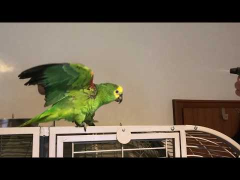 Shower time for amazon parrot.
