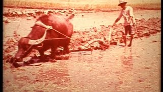 South China 1967 rice cultivation under Mao