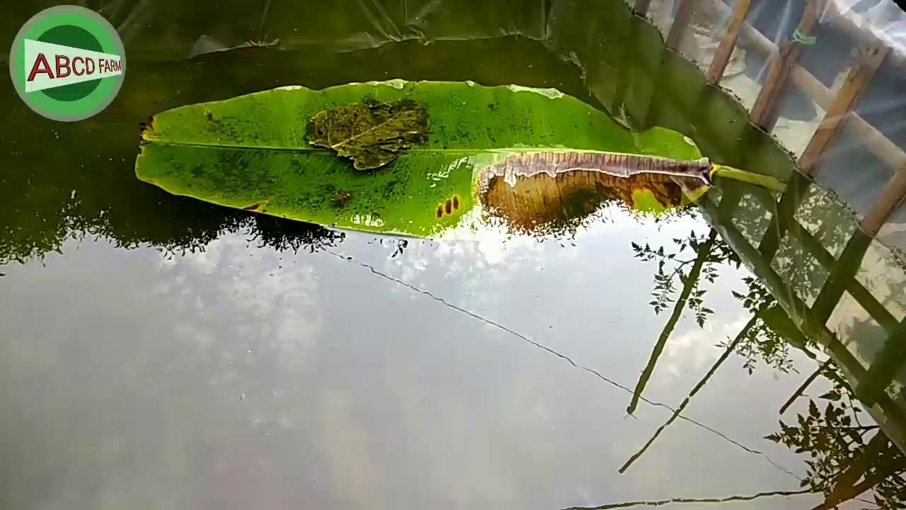 Budidaya Ikan Gurame Di Kolam Plastik Tanpa Menggunakan ...