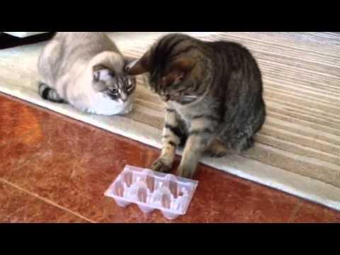 Gioco di attivazione mentale per gatti _  YouTube