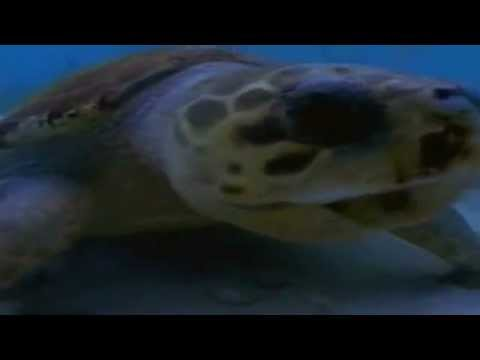 Cara the Sea Turtle