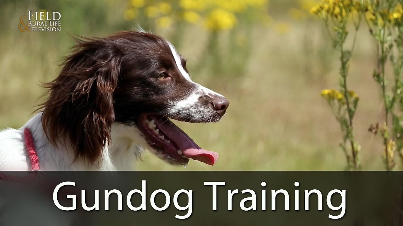 037b2dca7a19d Gundog Training With Andy Cullen - YouTube