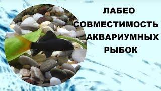 Лабео. Совместимость аквариумных рыбок.