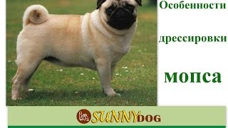 Мопс - особенности обучения Дрессировки (как щенка так и взрослой собаки)