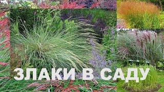 Злаки в саду. Обзор растений, прогулка по саду, лирика.