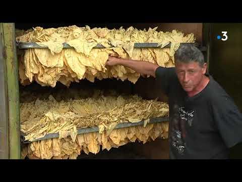 Dans le Tarn, la récolte du tabac bat son plein