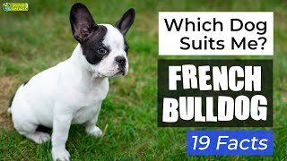Is a French Bulldog the Right Dog Breed for Me? 19 Facts About French Bulldog Dogs!