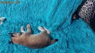 Собака боится разбудить рысь