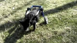 18-year-old Dog Walkin' Wheels Degenerative Myelopathy Or Other Neurological Condition