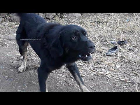 Ladakhi Bakarwal Dog Male Bakarwal Dog 1 Year Old Youtube