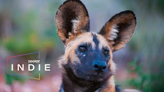 How Scientists Are Saving South Africas Painted Dogs  | Part of the Pack