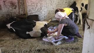 Отёл коровы/Первое доение и кормление теленка/