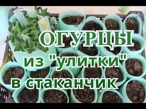 Выращивание лука-порея через рассаду: посадка и уход в 32