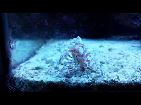 Harlequin Shrimp Eating Asterina Starfish