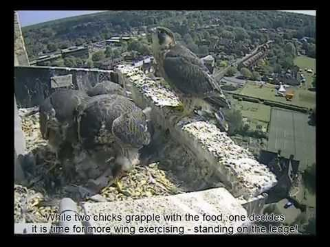 Norwich Cathedral Peregrine 2014 Highlights