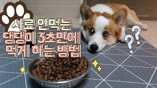 웰시코기 망고 사료투정 / 사료 안먹는 강아지  3초만에 먹게하는 방법?! /개춘기 고민거리