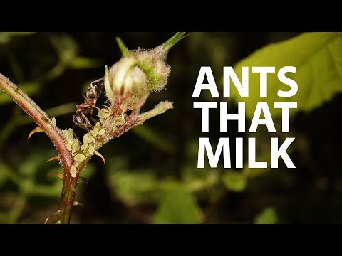 Ants Are Ranchers!   Ant & Aphid Symbiosis