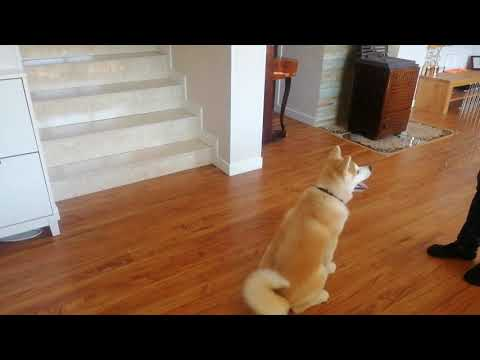 3monthold puppy home training. Akita Inu
