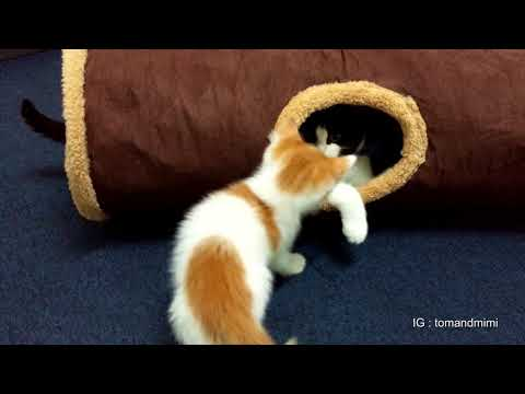 Kittens playing in the cat tunnel : 4K Ultra Hd : Original