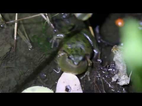 Pacific Treefrog Calling