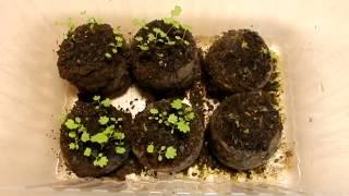 Выращивание земляники Ремонтантной  посев семян  в июле