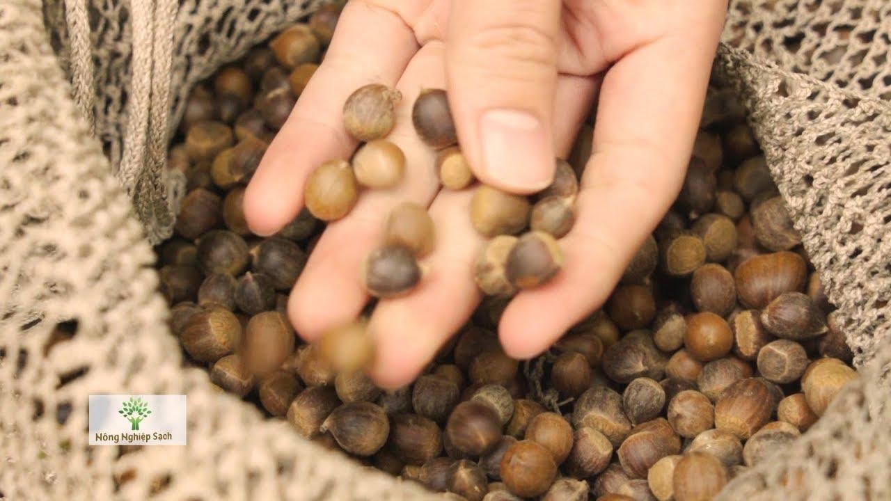 Nông nghiệp sạch số 347 – Hạt dẻ Hải Dương