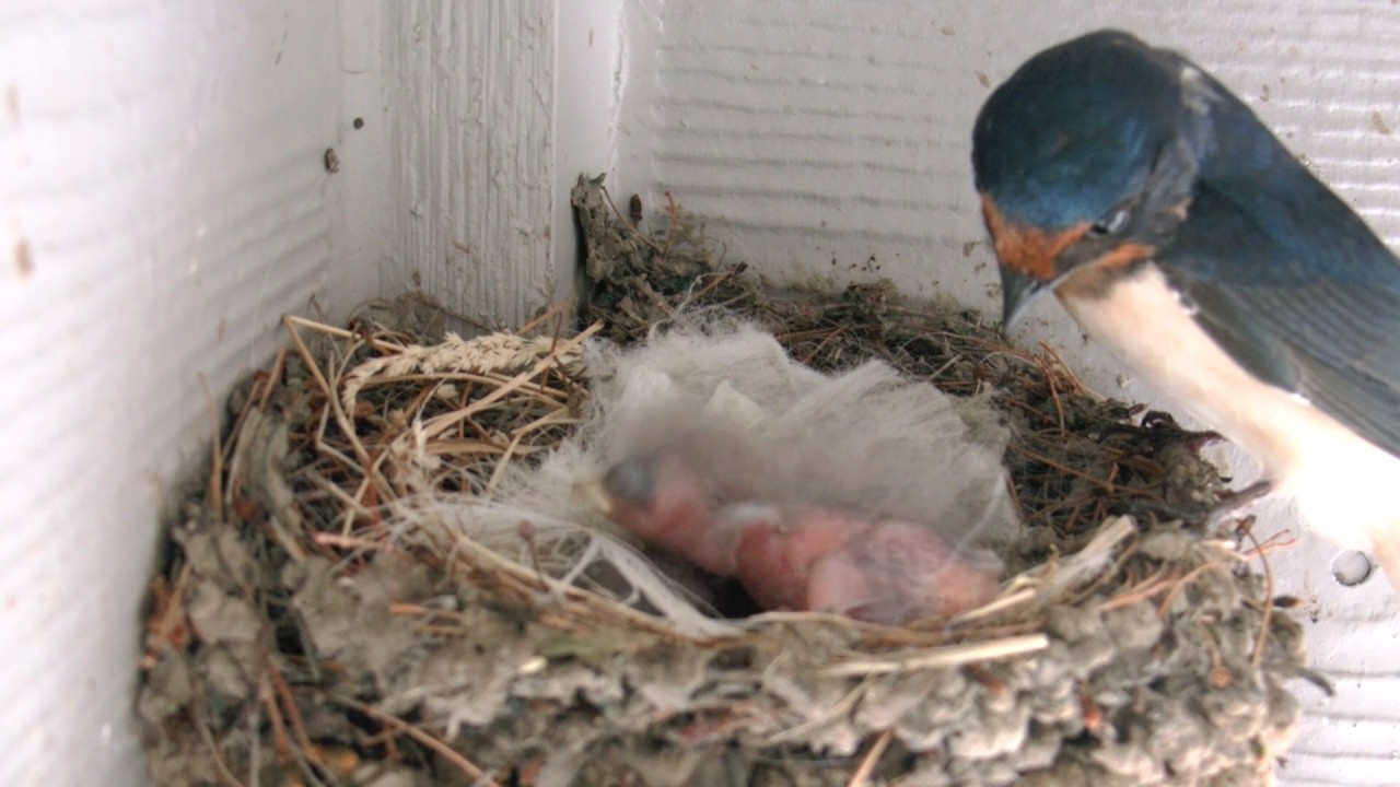 Baby Barn Swallows - Day1 - YouTube