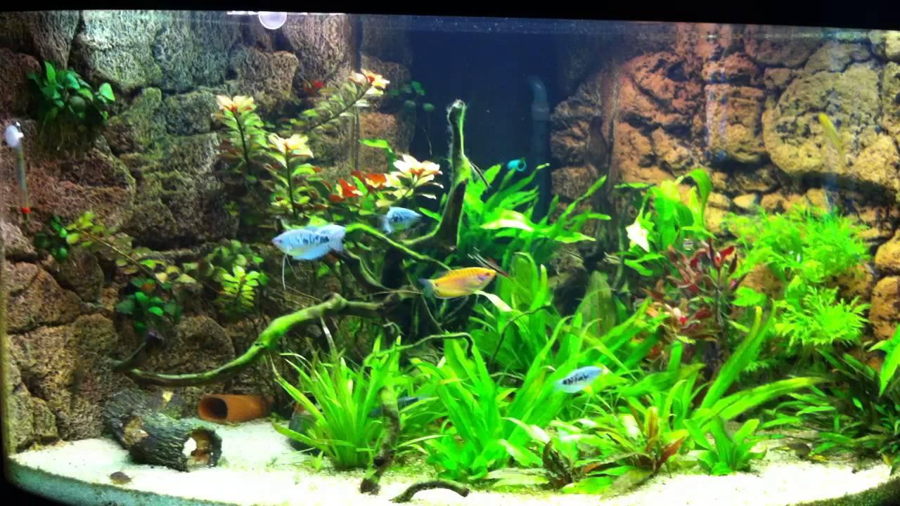 mein aquarium mit fadenfischen youtube. Black Bedroom Furniture Sets. Home Design Ideas