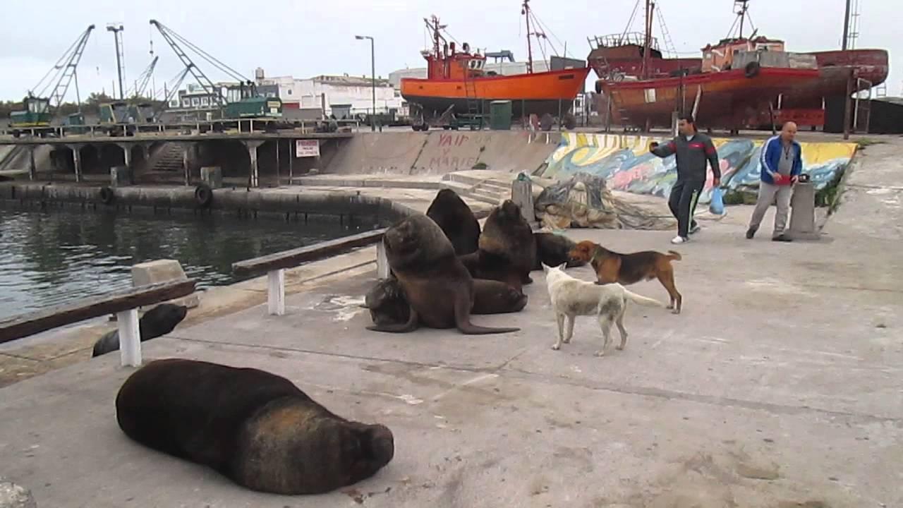 Lobos Marinos En El Puerto De Mar Del Plata Youtube