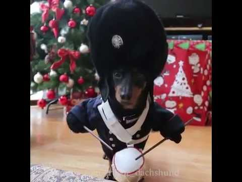 Little Drummer Boy Vine Video by Crusoe the Mini Dachshund