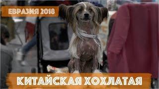 Китайская хохлатая | DogTalk