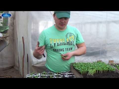 ПИКИРОВКА СЛАДКОГО  ПЕРЦА ПО ДВА В СТАКАН. В ЧЁМ ПРЕИМУЩЕСТВО? | выращивать | пикировка | вырастить | сладкого | сладкий | рассада | перца | перец | как