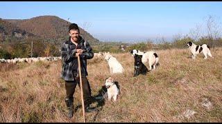 Oile și câinii ciobănești ai lui Nemeș Mihai de la Sighetu Marmației/Povești ciobănești cu LUPI-URȘI