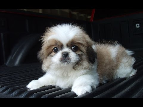 Adorable Shih Tzu - DOG LOVERS ❤