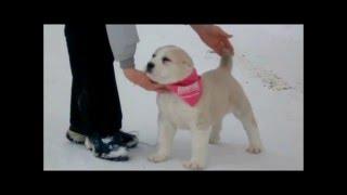 Central Asian Shepherd Dog puppy