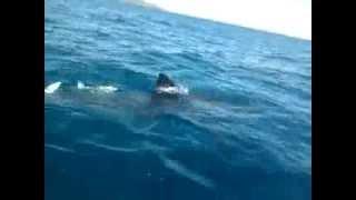 Grand Requin Bleu In al-hoceima (Maroc)