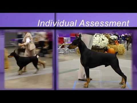 How to Judge the Doberman Pinscher