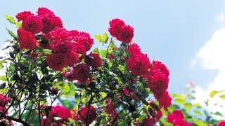 How to Prepare Rose Bushes for Spring | At Home With P. Allen Smith