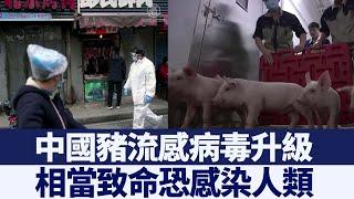 疫情未退 中國又出可傳人致命豬流感病毒|@新唐人亞太電視台NTDAPTV |20200702
