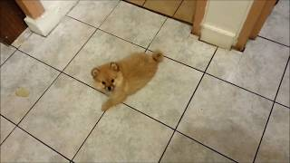 Mon Chiot Spitz - Pomeranian Puppy