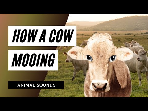 the-animal-sounds:-cow-mooing---sound-effect---animation