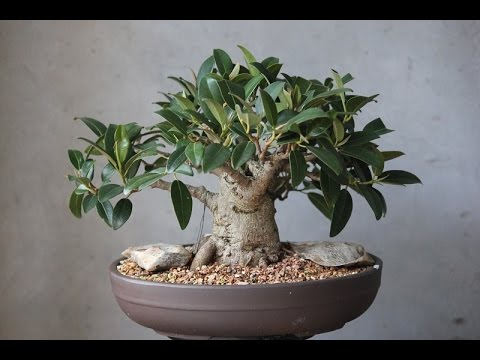 The Iincredibly Unique Ginseng Grafted Ficus Youtube