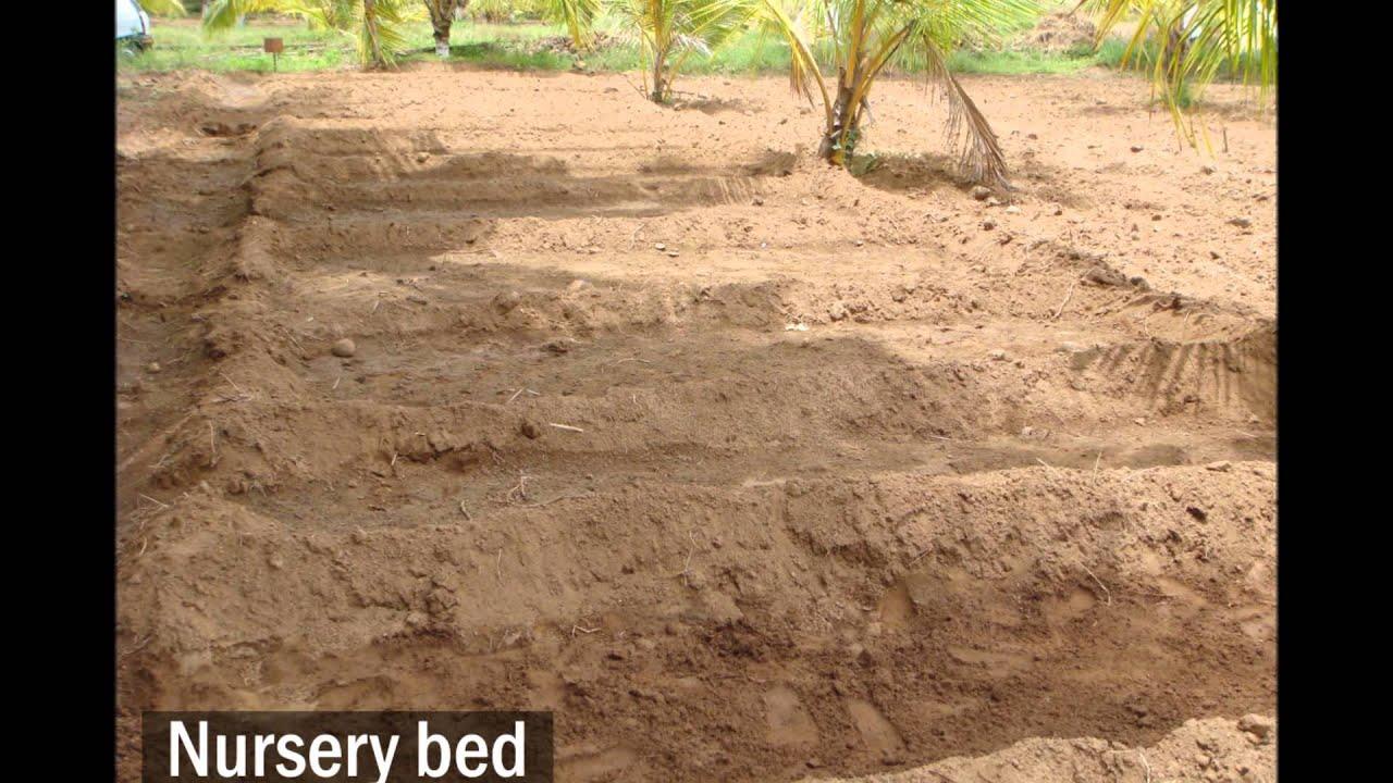 Coconut Nursery Bed Preparation