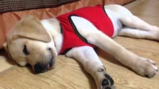 仔犬の時期には☝  欠かせない色々な音のCD  日常生活の音も慣れるために...